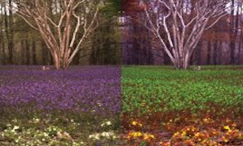 Two images showing how bees see bluebells compared to humans.